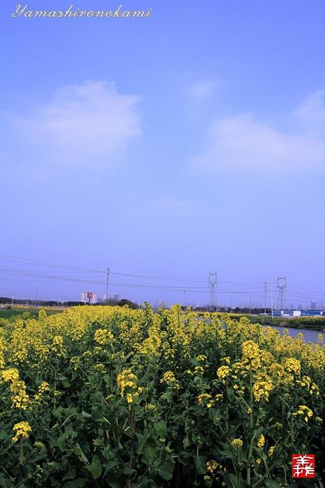 s-20150329-昆山菜の花畑025