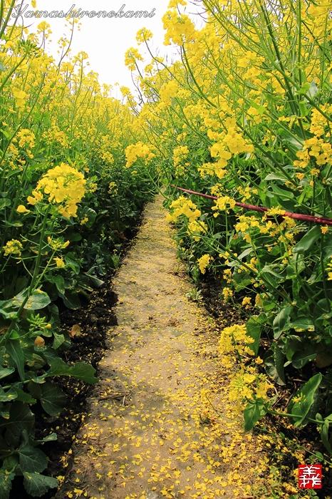 s-20150329-昆山菜の花畑016