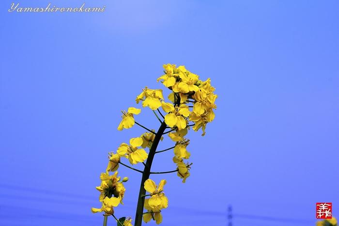 s-20150329-昆山菜の花畑005