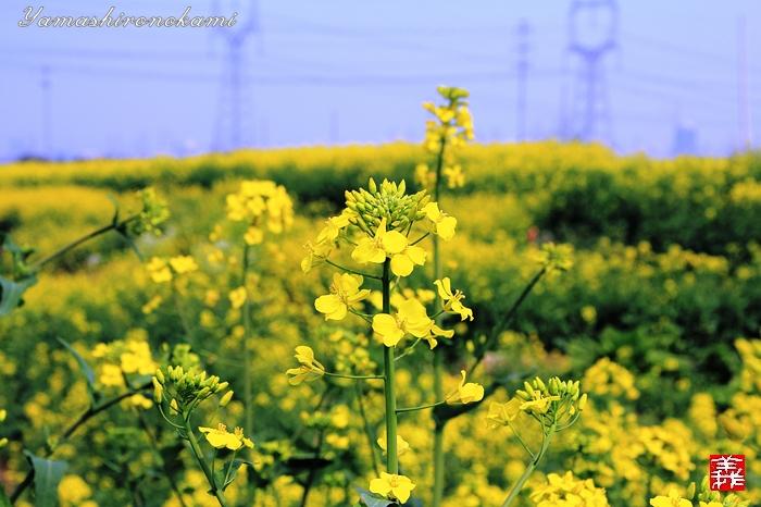 s-20150329-昆山菜の花畑004