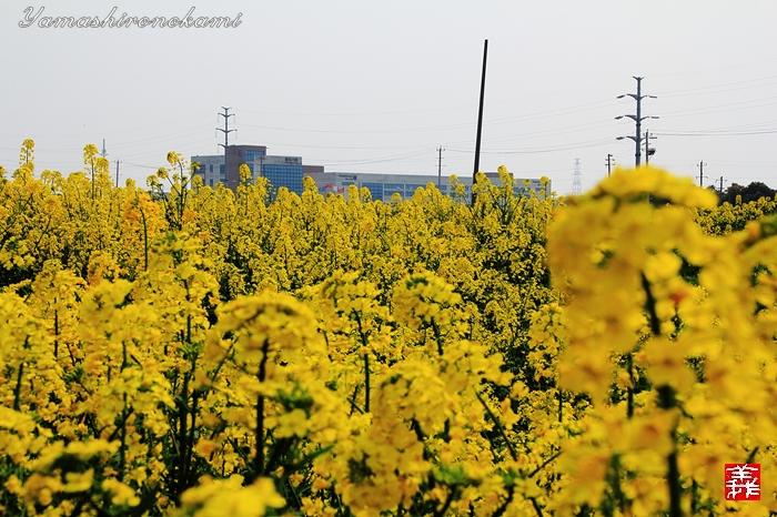 s-20150329-昆山菜の花畑051
