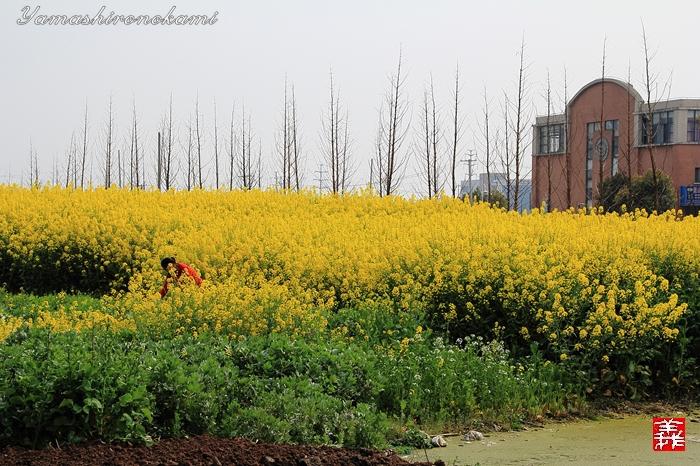 s-20150329-昆山菜の花畑094
