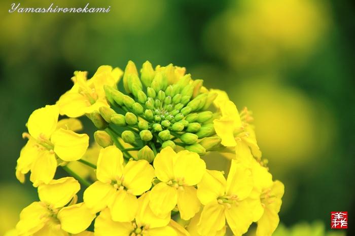 s-20150329-昆山菜の花畑092