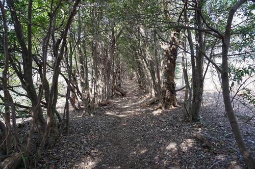 ヒサカキのトンネル