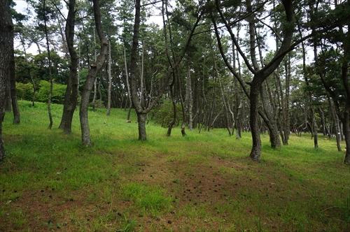 13クロマツ林