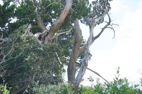 9イブキ樹叢
