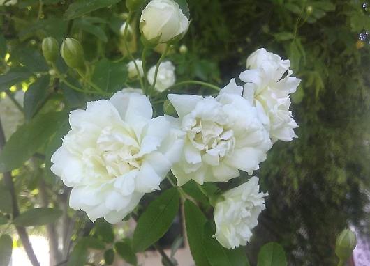 モッコウ薔薇・白