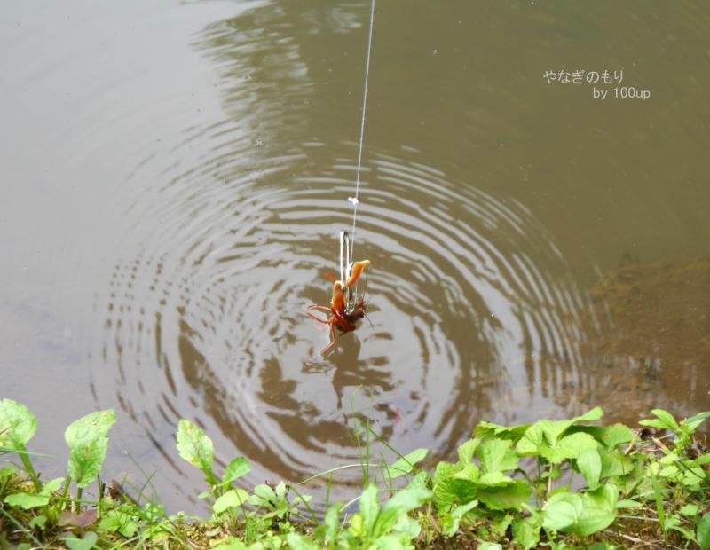 2015,5,30ザリガニ釣り3