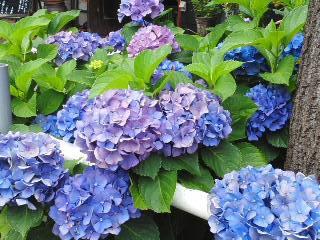 150613紫陽花