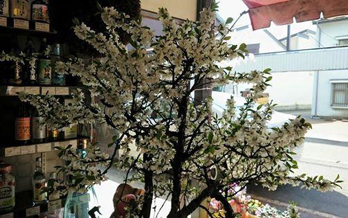 【ショーウインドウに春を呼ぶ山桜】
