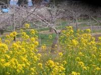 H270418ナノハナとモモの花盛り