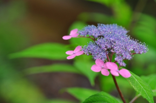 1紫陽花15.06.14
