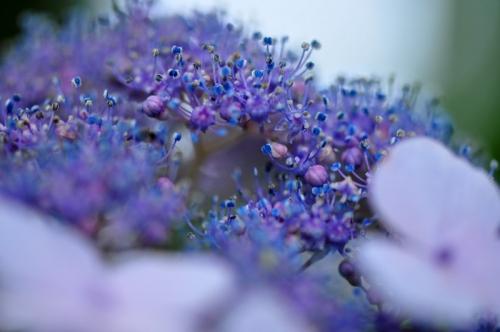 2紫陽花15.06.14