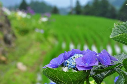 5紫陽花15.06.14