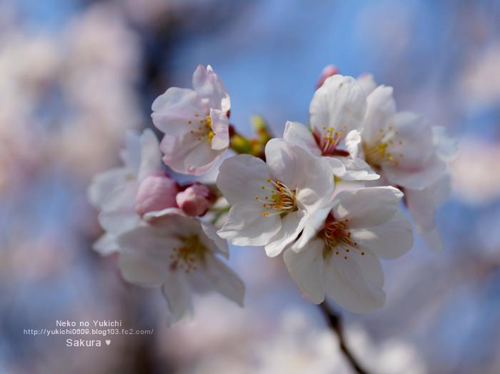 大阪城 2015 桜