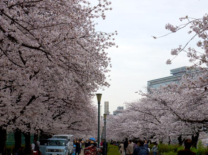 中之島公園桜