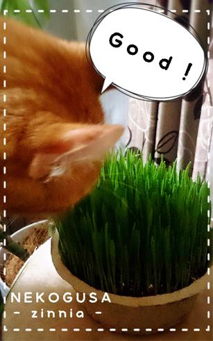 - 猫草 - 名前の通り①