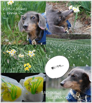 季節の花「水仙」を見に④