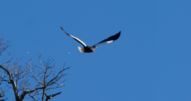中禅寺湖の大鷲