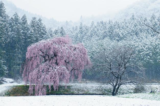 春雪と枝垂れ桜