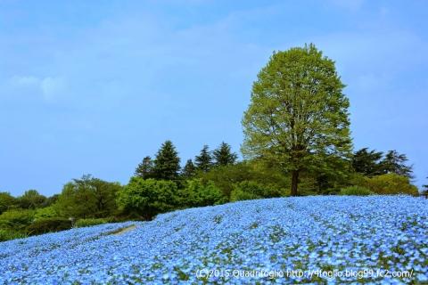 昭和記念公園 ネモフィラ