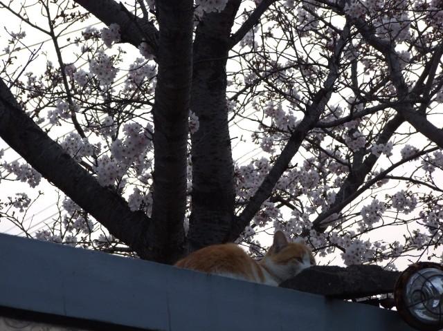 猫も花見・・・