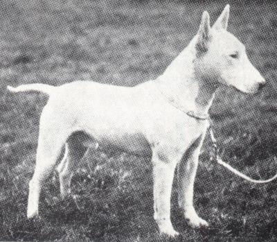 bullterrier1894.jpg