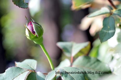 ミサト2番花蕾21