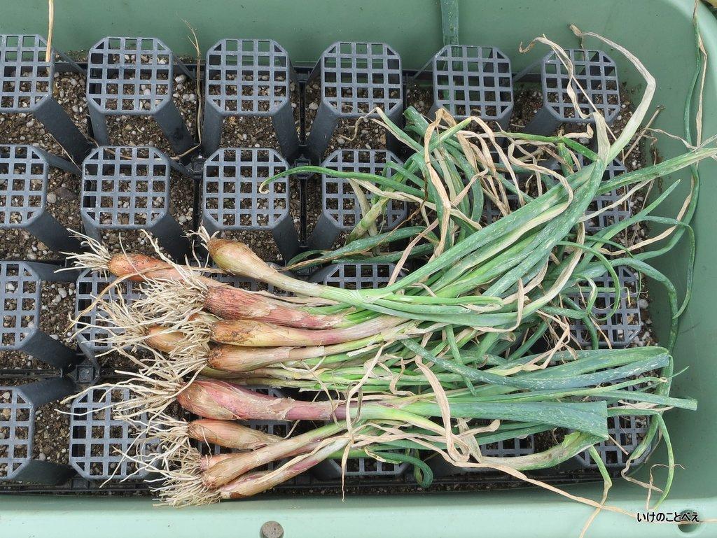 イタリア赤玉ねぎの収穫とパエリア