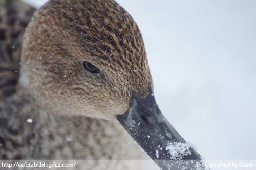 山形県 尾花沢市 観光 徳良湖 白鳥 鴨 水鳥 写真撮影10