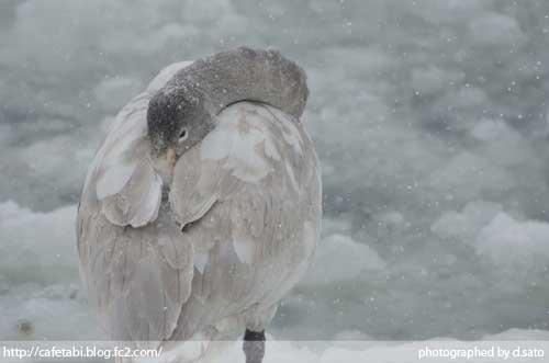 山形県 尾花沢市 観光 徳良湖 白鳥 鴨 水鳥 写真撮影15