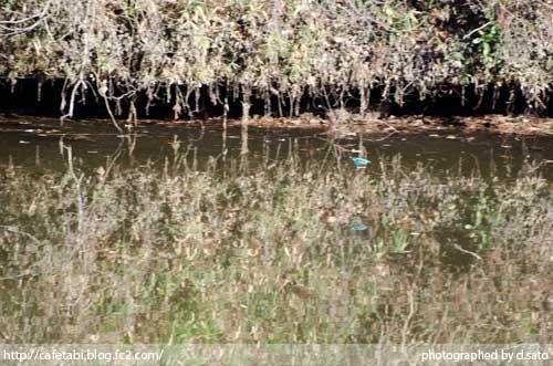 千葉県 長生郡 長柄町 生命の森リゾート かわせみ池 カワセミやアオサギなど野鳥の写真が撮れる池03