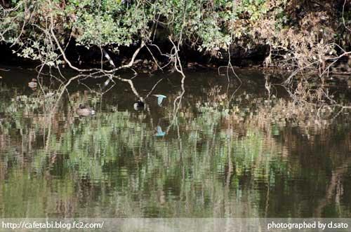 千葉県 長生郡 長柄町 生命の森リゾート かわせみ池 カワセミやアオサギなど野鳥の写真が撮れる池06