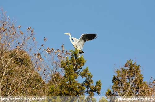 千葉県 長生郡 長柄町 生命の森リゾート かわせみ池 カワセミやアオサギなど野鳥の写真が撮れる池07