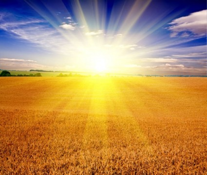 hd-picture-of-the-wheat-fields-under-the-sun-147889.jpg
