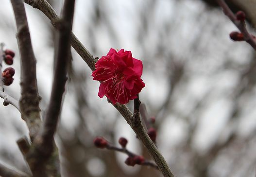IMG_1354鹿児島紅