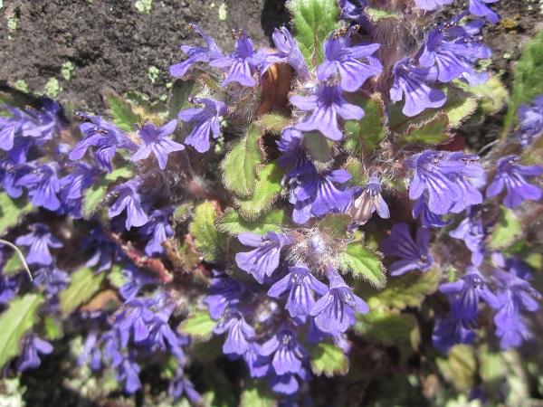 スミレくらいの小さな花