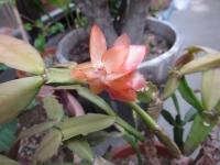 カニサボテンが咲いた