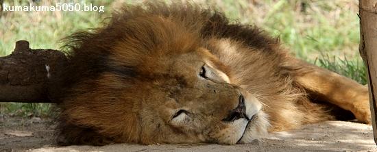 ライオン_1033
