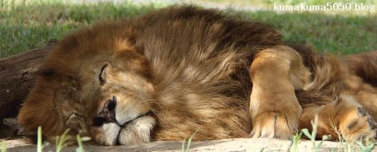 ライオン_1034