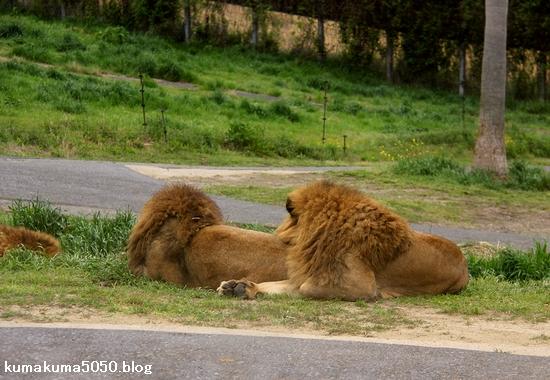 ライオン_1037