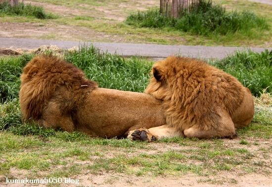 ライオン_1038