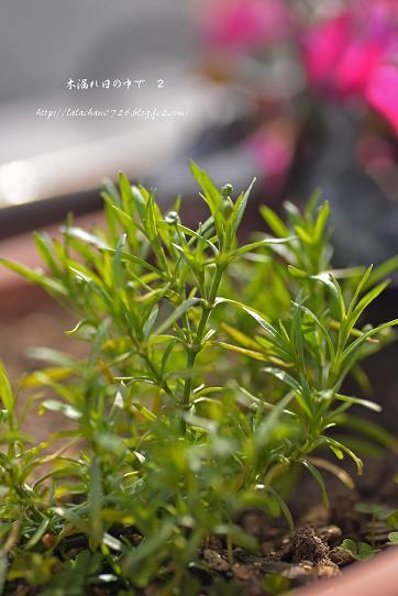 かすみ草のつぼみ