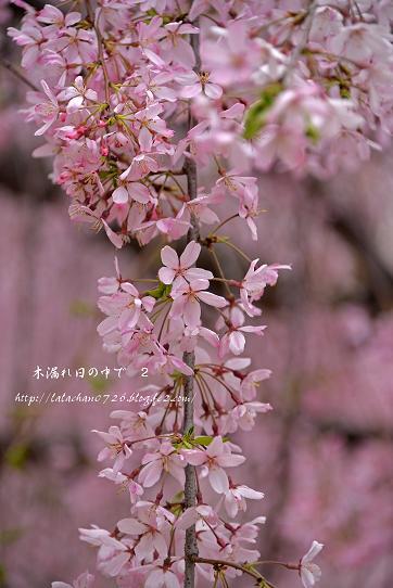 枝垂れ桜が