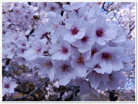 桜のはなだよ