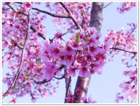 河津桜かな