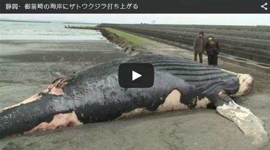 静岡・御前崎の海岸にザトウクジラが打ち上がる