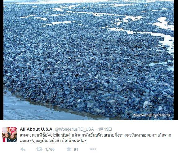 アメリカ西海岸に10億匹の青いクラゲ「カツオノカンムリ」が大量に打ち上げられる