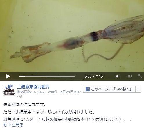 【新潟】幻の深海生物ユウレイイカが糸魚川市浦本漁港で水揚げ