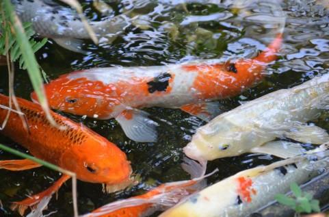 神奈川県小田原市の川で「コイ50匹」が大量死…原因分からず
